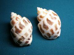 貝の標本(現生) ゾウゲバイの貝殻 47mm1個