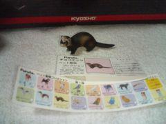 フルタ  ペット動物1   フェレット                   セーブル