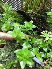 ビオトープの水草 3種