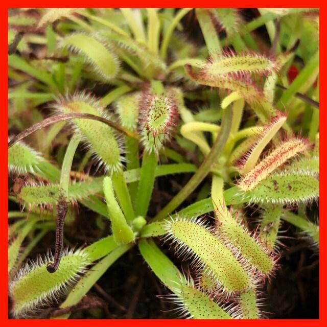 アフリカナガバモウセンゴケ 種子100粒 食虫植物 ドロセラ  < ペット/手芸/園芸の