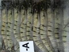 エビフライに ブラックタイガー有頭 20尾 1.3k 生冷凍
