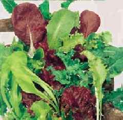 種類豊富な イタリアンレタス(ミックス種子) 100粒