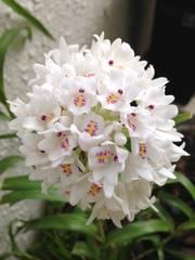 洋蘭原種 Neobenthamia .gracilis
