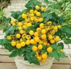 一番低い 黄色いミニートマト 3粒
